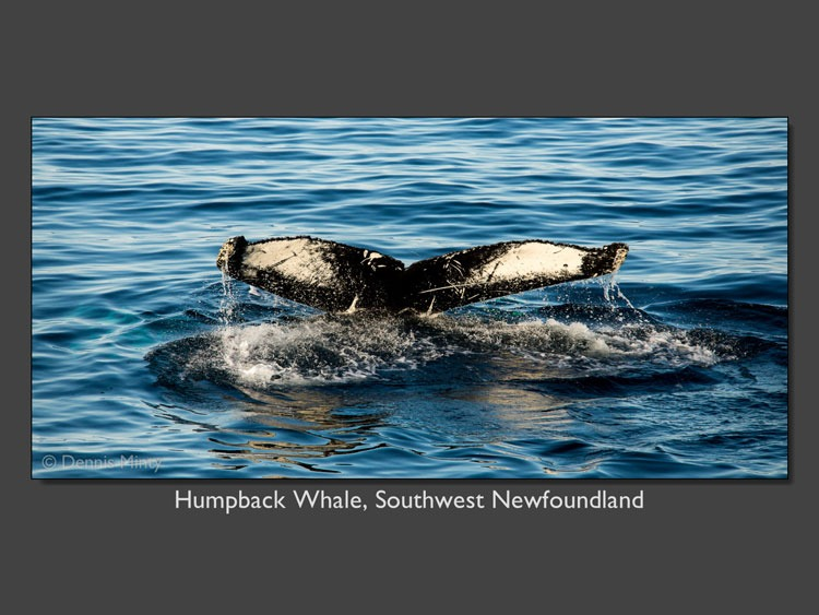 Humpback whale SW Nfld